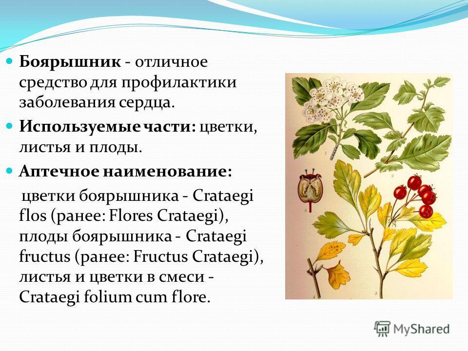 Боярышник - отличное средство для профилактики заболевания сердца. Используемые части: цветки, листья и плоды. Аптечное наименование: цветки боярышника - Crataegi flos (ранее: Flores Crataegi), плоды боярышника - Crataegi fructus (ранее: Fructus Crat