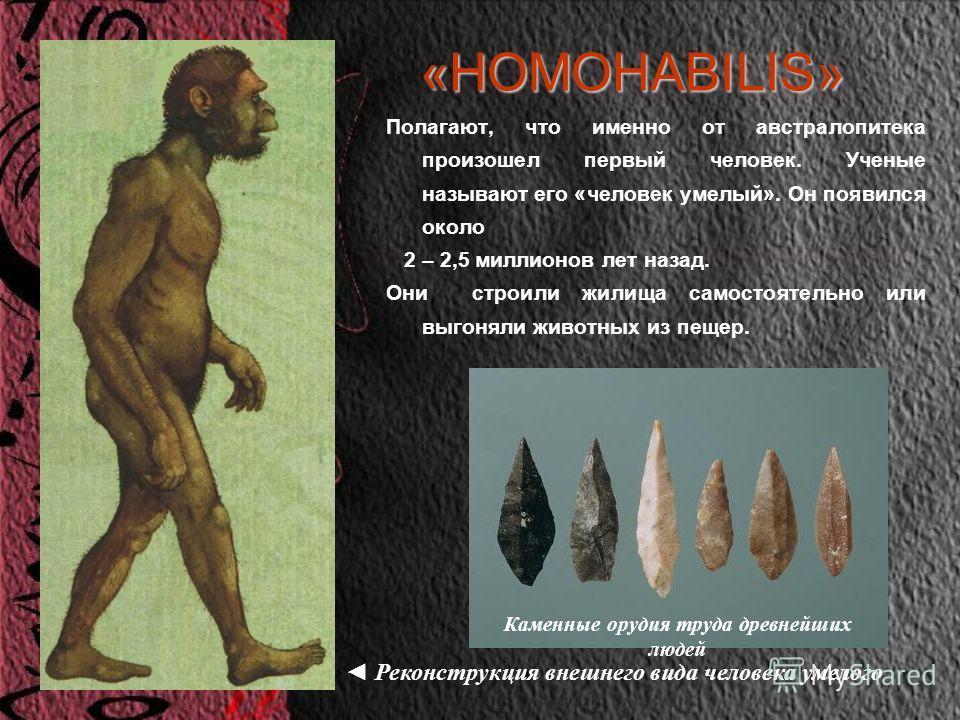 «HOMOHABILIS» Полагают, что именно от австралопитека произошел первый человек. Ученые называют его «человек умелый». Он появился около 2 – 2,5 миллионов лет назад. Они строили жилища самостоятельно или выгоняли животных из пещер. Реконструкция внешне