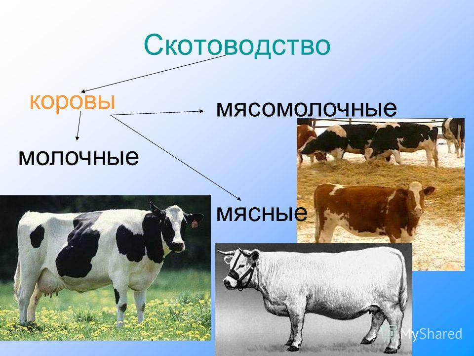 Скотоводство коровы мясомолочные молочные мясные