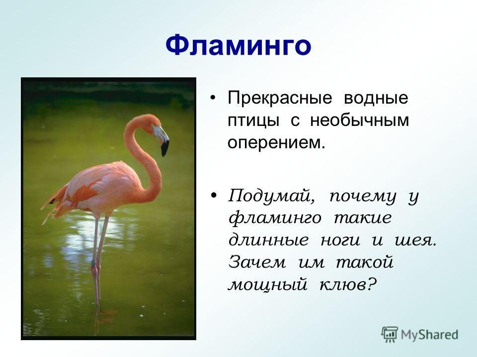 Фламинго Прекрасные водные птицы с необычным оперением. Подумай, почему у фламинго такие длинные ноги и шея. Зачем им такой мощный клюв?
