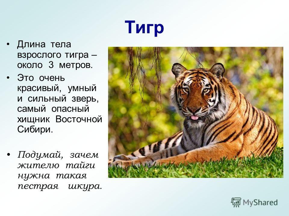 Тигр Длина тела взрослого тигра – около 3 метров. Это очень красивый, умный и сильный зверь, самый опасный хищник Восточной Сибири. Подумай, зачем жителю тайги нужна такая пестрая шкура.