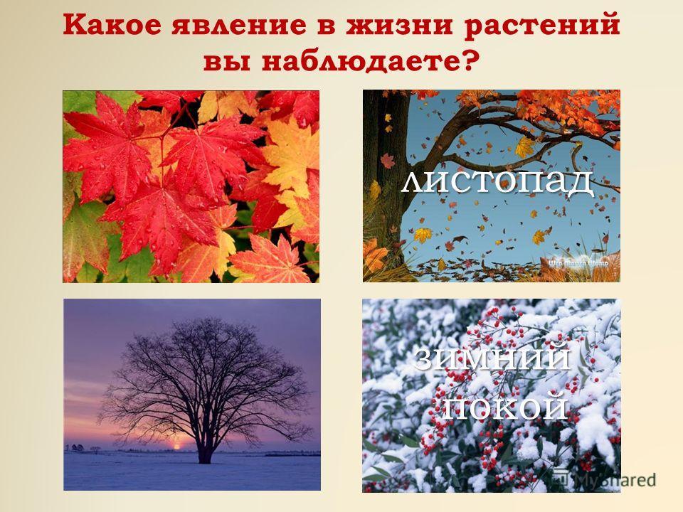 Какое явление в жизни растений вы наблюдаете? листопад зимний покой