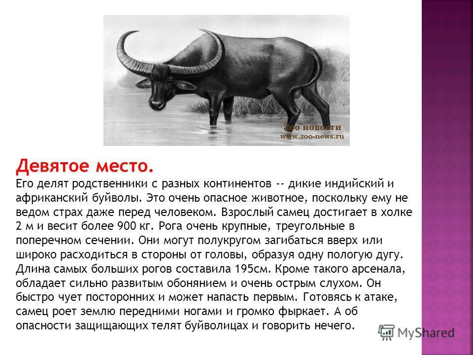 Девятое место. Его делят родственники с разных континентов -- дикие индийский и африканский буйволы. Это очень опасное животное, поскольку ему не ведом страх даже перед человеком. Взрослый самец достигает в холке 2 м и весит более 900 кг. Рога очень