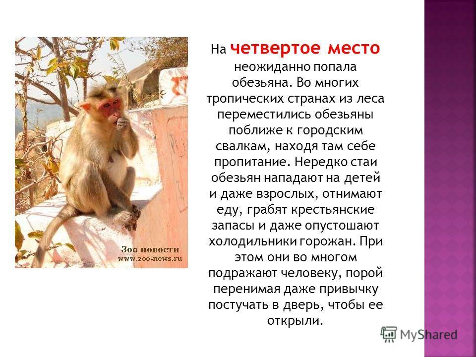 На четвертое место неожиданно попала обезьяна. Во многих тропических странах из леса переместились обезьяны поближе к городским свалкам, находя там себе пропитание. Нередко стаи обезьян нападают на детей и даже взрослых, отнимают еду, грабят крестьян
