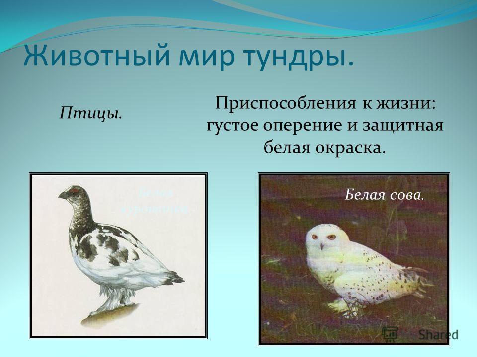 Животный мир тундры. Птицы. Приспособления к жизни: густое оперение и защитная белая окраска. Белая куропатка. Белая сова.