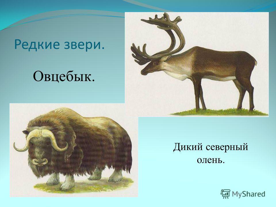 Редкие звери. Овцебык. Дикий северный олень.