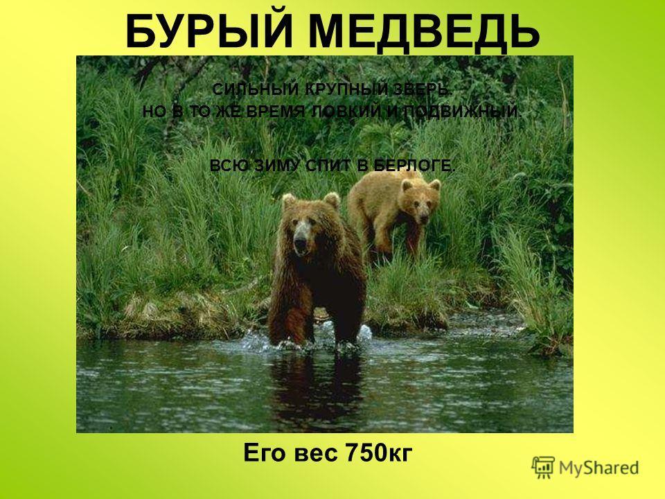БУРЫЙ МЕДВЕДЬ СИЛЬНЫЙ КРУПНЫЙ ЗВЕРЬ. НО В ТО ЖЕ ВРЕМЯ ЛОВКИЙ И ПОДВИЖНЫЙ. ВСЮ ЗИМУ СПИТ В БЕРЛОГЕ. Бурый медведь медведь – сильный крупный зверь. Но в то же время ловкий и подвижный. Медведи всю зиму спят в берлоге. Его вес 750кг