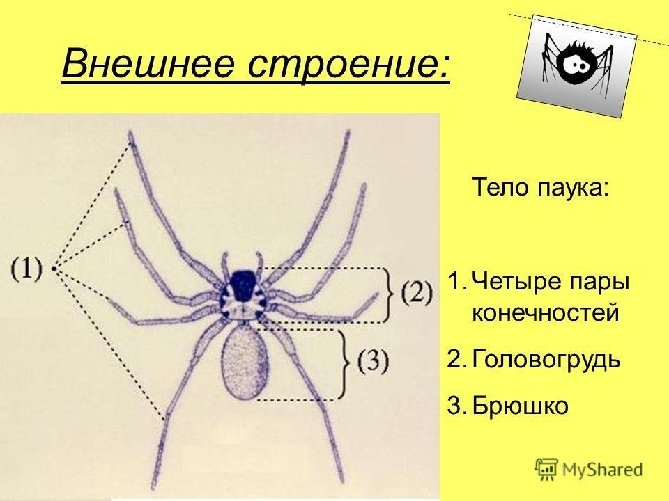 Внешнее строение: Тело паука: 1.Четыре пары конечностей 2.Головогрудь 3.Брюшко