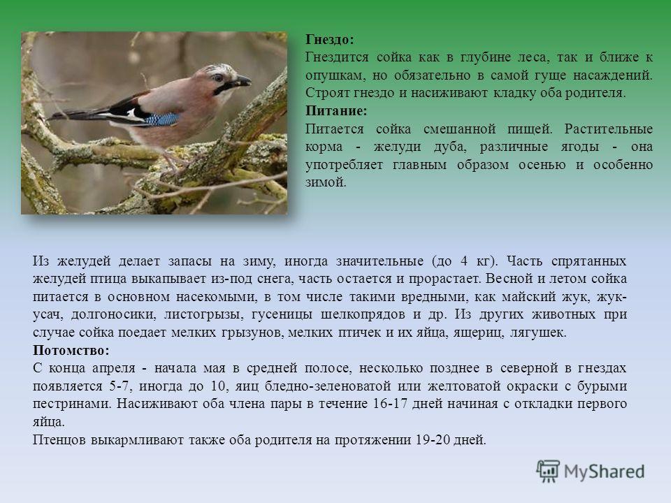 Из желудей делает запасы на зиму, иногда значительные (до 4 кг). Часть спрятанных желудей птица выкапывает из-под снега, часть остается и прорастает. Весной и летом сойка питается в основном насекомыми, в том числе такими вредными, как майский жук, ж