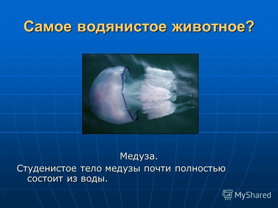 Самое водянистое животное? Медуза. Студенистое тело медузы почти полностью состоит из воды.