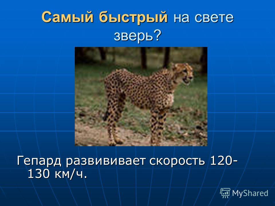 Самый быстрый на свете зверь? Гепард развививает скорость 120- 130 км/ч.