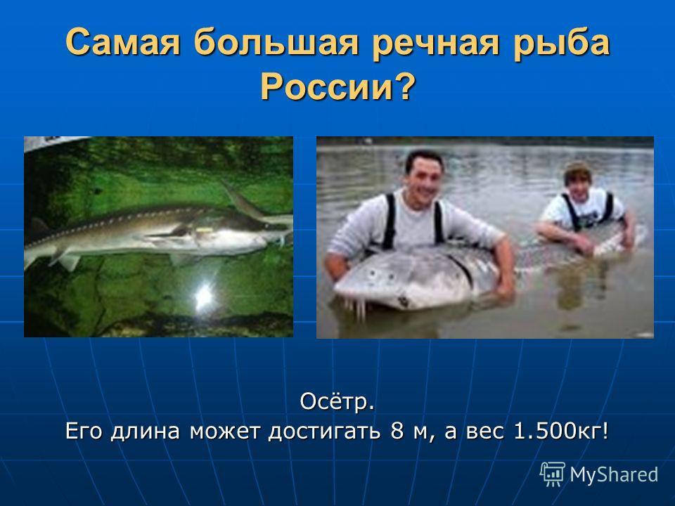 Самая большая речная рыба России? Осётр. Его длина может достигать 8 м, а вес 1.500кг!
