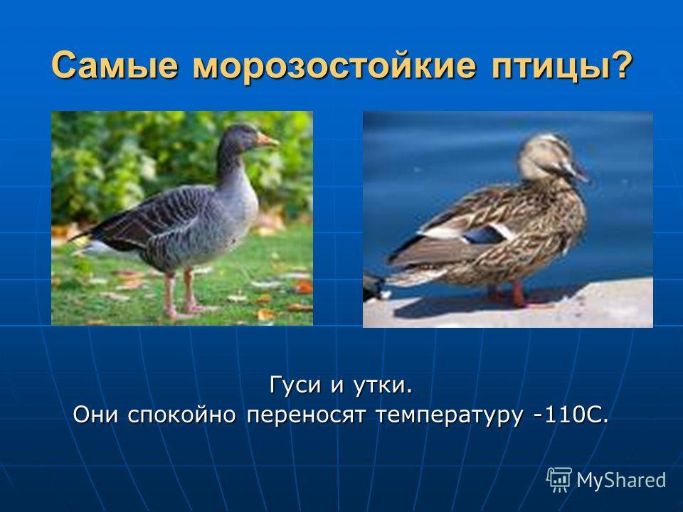 Самые морозостойкие птицы? Гуси и утки. Они спокойно переносят температуру -110С.