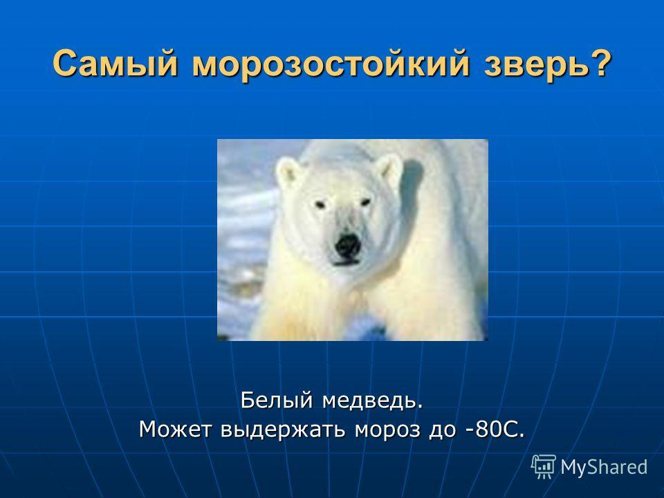 Самый морозостойкий зверь? Белый медведь. Может выдержать мороз до -80С.