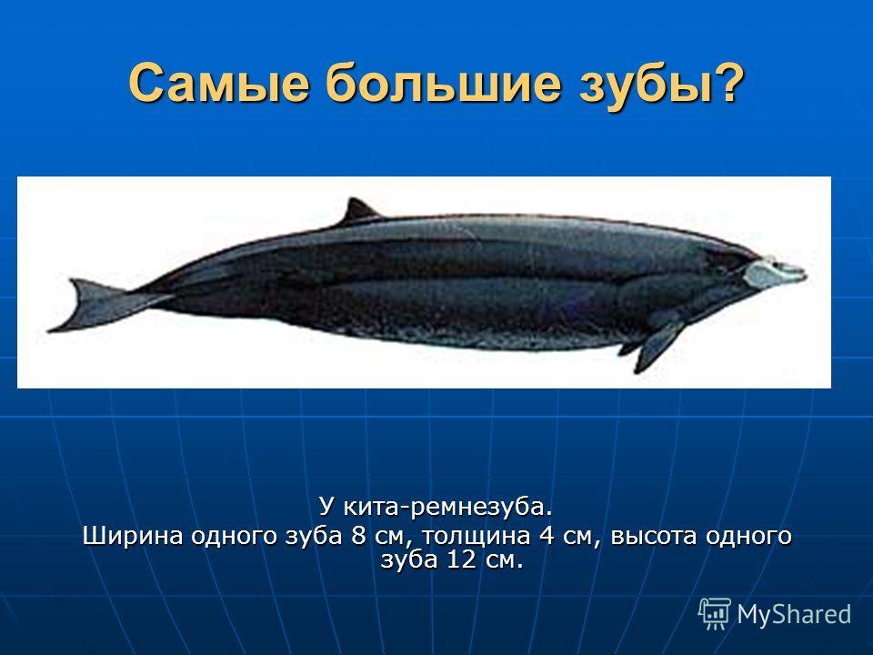 Самые большие зубы? У кита-ремнезуба. Ширина одного зуба 8 см, толщина 4 см, высота одного зуба 12 см.