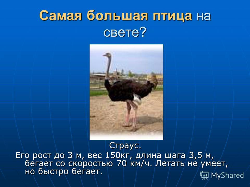 Самая большая птица на свете? Страус. Его рост до 3 м, вес 150кг, длина шага 3,5 м, бегает со скоростью 70 км/ч. Летать не умеет, но быстро бегает.