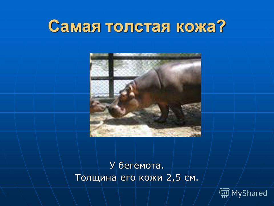 Самая толстая кожа? У бегемота. Толщина его кожи 2,5 см.