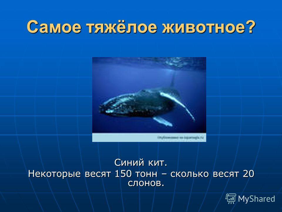 Самое тяжёлое животное? Синий кит. Некоторые весят 150 тонн – сколько весят 20 слонов.