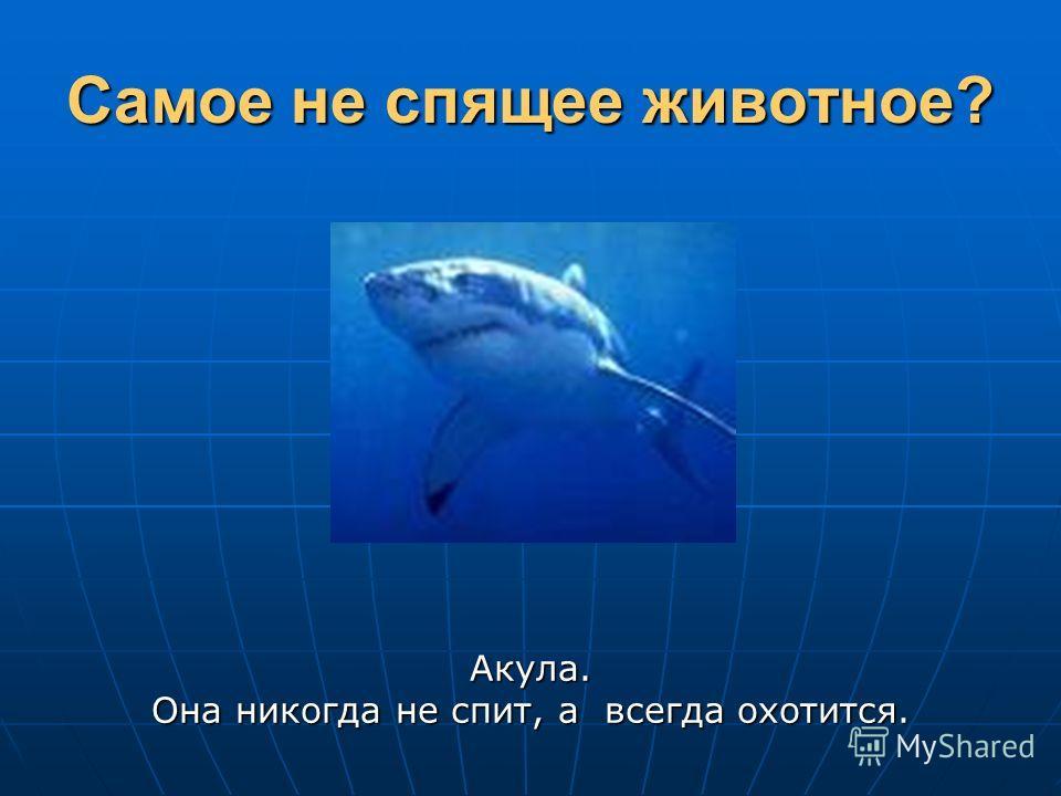 Самое не спящее животное? Акула. Она никогда не спит, а всегда охотится.
