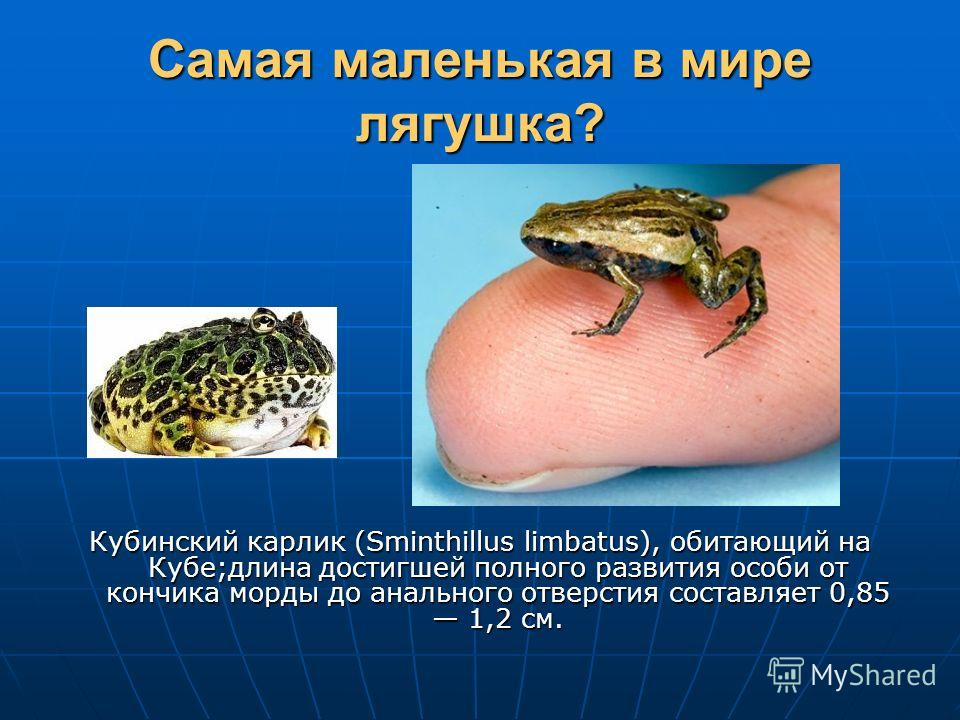 Самая маленькая в мире лягушка? Кубинский карлик (Sminthillus limbatus), обитающий на Кубе;длина достигшей полного развития особи от кончика морды до анального отверстия составляет 0,85 1,2 см.