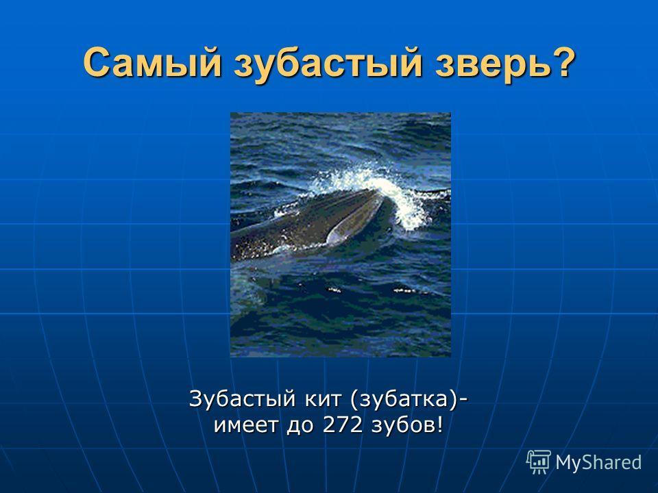 Самый зубастый зверь? Зубастый кит (зубатка)- имеет до 272 зубов!