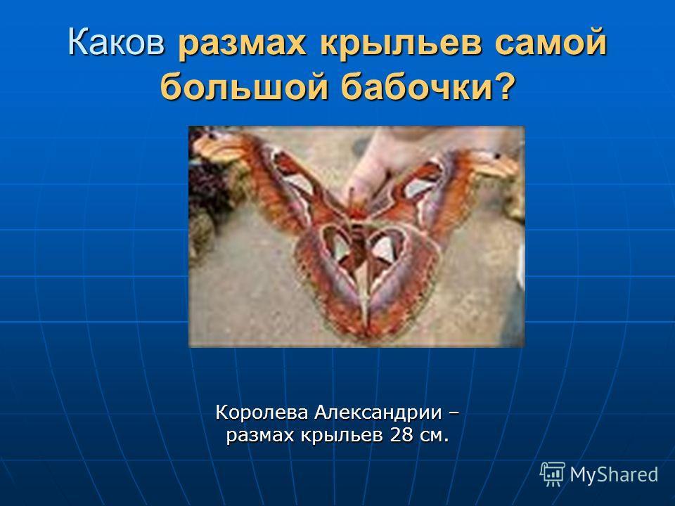 Каков размах крыльев самой большой бабочки? Королева Александрии – размах крыльев 28 см.