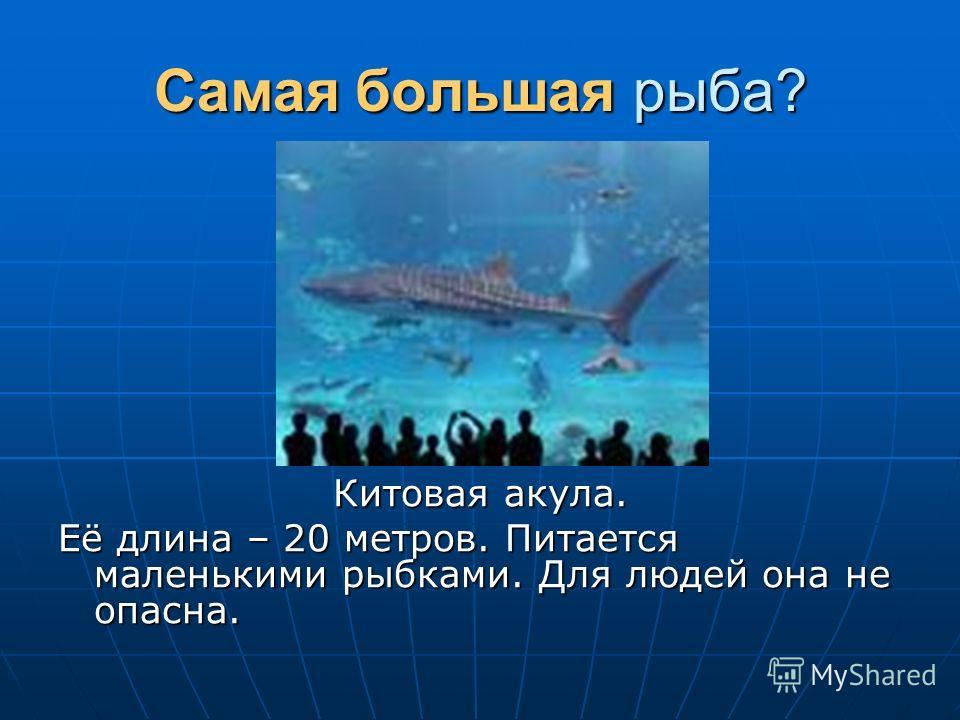 Самая большая рыба? Китовая акула. Её длина – 20 метров. Питается маленькими рыбками. Для людей она не опасна.