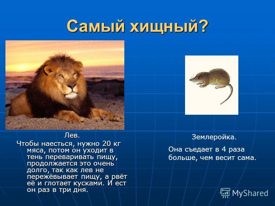 Самый хищный? Лев. Чтобы наесться, нужно 20 кг мяса, потом он уходит в тень переваривать пищу, продолжается это очень долго, так как лев не пережёвывает пищу, а рвёт её и глотает кусками. И ест он раз в три дня. Землеройка. Она съедает в 4 раза больш