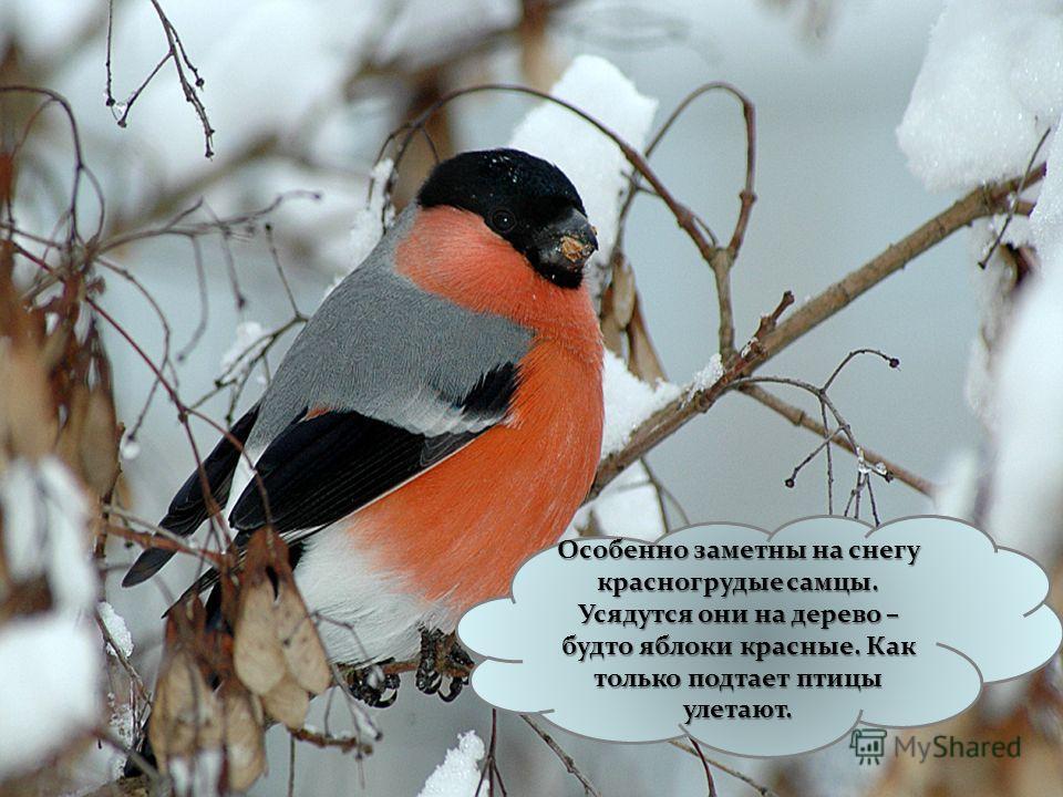 Зимой в наших краях появляется много снегирей. Сюда они прилетают из северных лесов. Появление снегиря всегда связано с первым снегом, отсюда и название этой птицы.