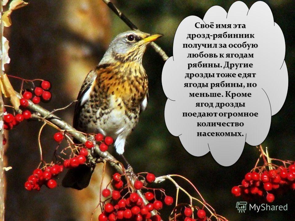 Дрозд – это певчая птица. Живёт в лесах, садах и парках. Дроздов существует несколько видов. Например, певчий дрозд и дрозд- рябинник. Как вы думаете: за что птица получила такое название?