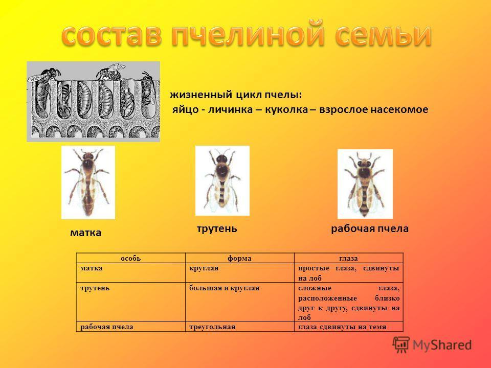 матка трутеньрабочая пчела жизненный цикл пчелы: яйцо - личинка – куколка – взрослое насекомое особьформаглаза маткакруглаяпростые глаза, сдвинуты на лоб трутеньбольшая и круглаясложные глаза, расположенные близко друг к другу, сдвинуты на лоб рабоча