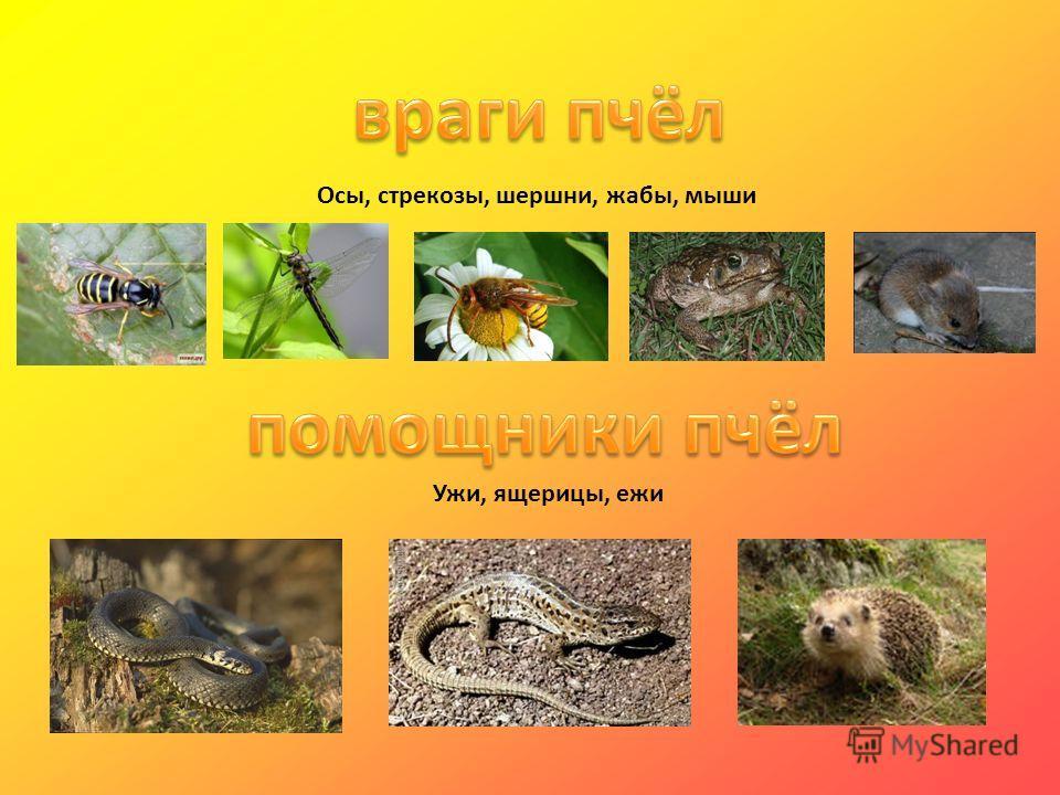 Осы, стрекозы, шершни, жабы, мыши Ужи, ящерицы, ежи