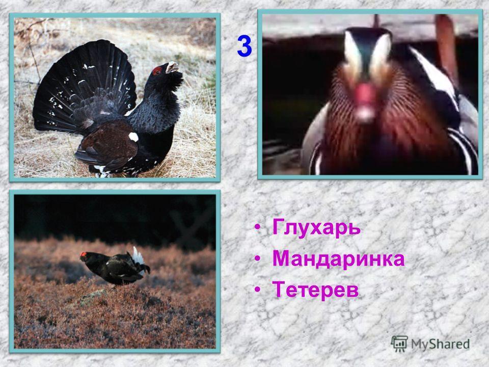 3 Глухарь Мандаринка Тетерев