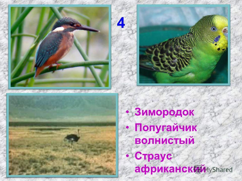 4 Зимородок Попугайчик волнистый Страус африканский