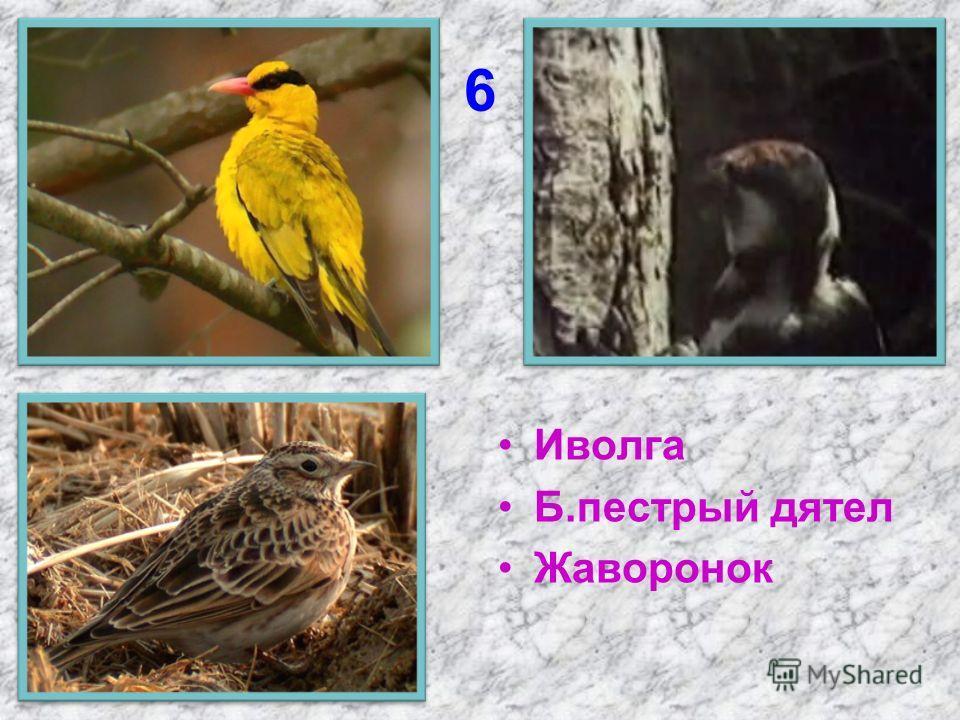 6 Иволга Б.пестрый дятел Жаворонок