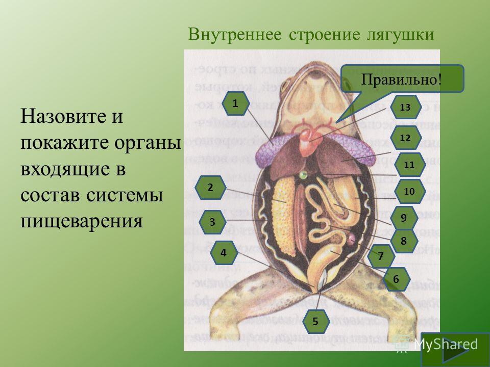 Внутреннее строение лягушки Назовите и покажите органы входящие в состав системы пищеварения 9 8 7 6 4 3 5 2 10 1 11 13 12 Правильно!