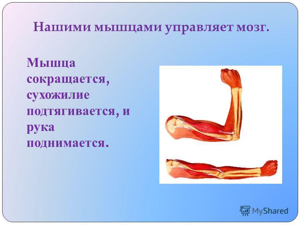У ч еловека т аких мышц и с ухожилий очень м ного. Большие и м ощные для с ильной р аботы, а м аленькие - д ля тонкой.