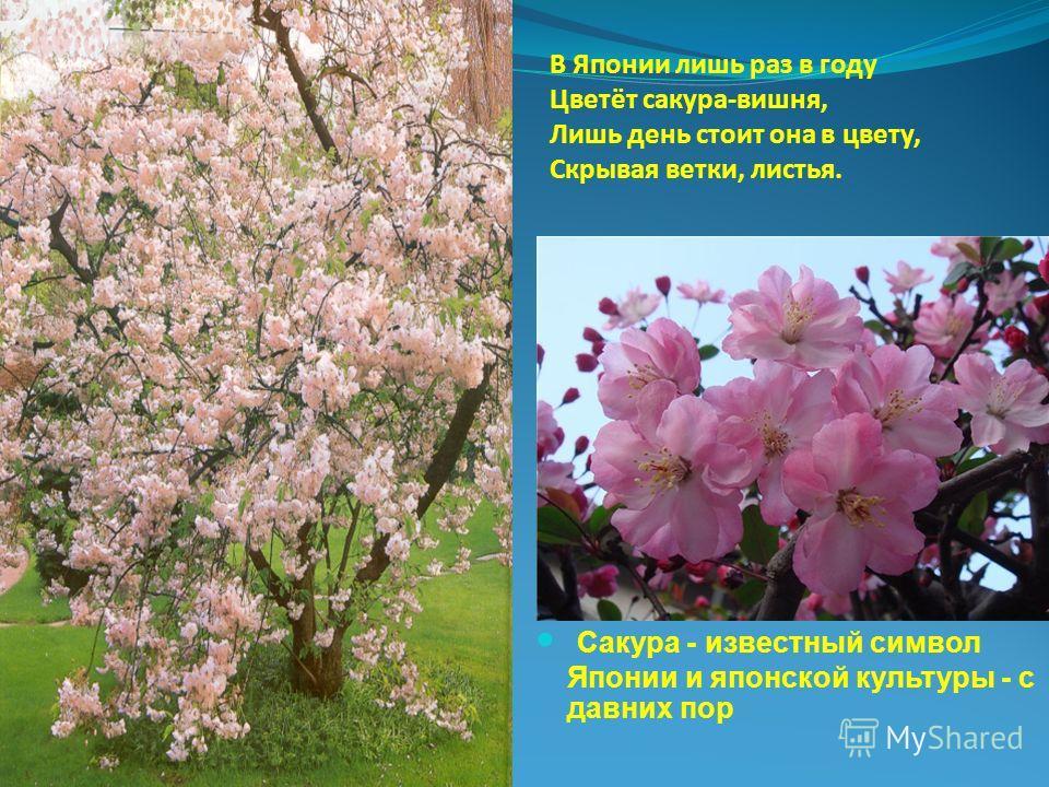 В Японии лишь раз в году Цветёт сакура-вишня, Лишь день стоит она в цвету, Скрывая ветки, листья. Сакура - известный символ Японии и японской культуры - с давних пор