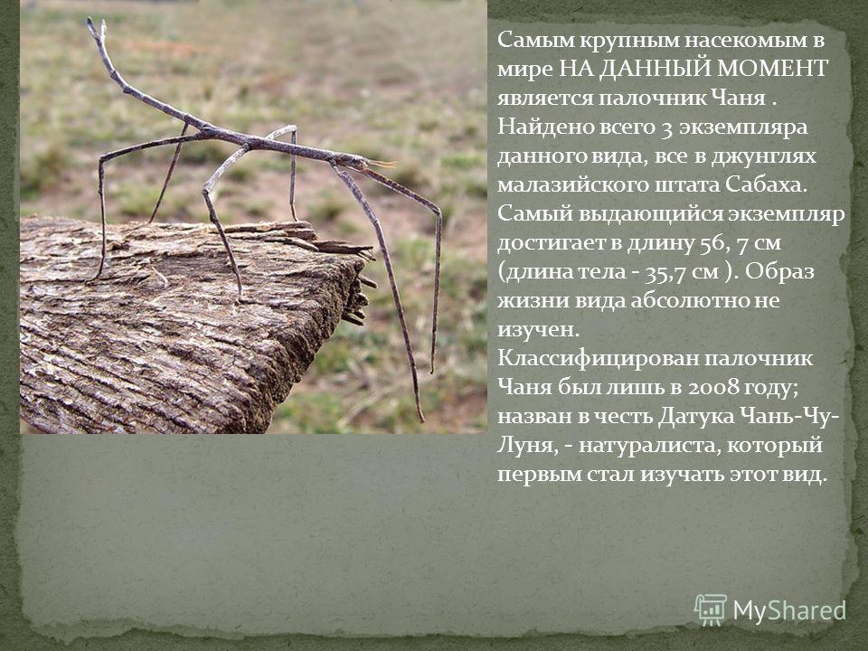 Самым крупным насекомым в мире НА ДАННЫЙ МОМЕНТ является палочник Чаня. Найдено всего 3 экземпляра данного вида, все в джунглях малазийского штата Сабаха. Самый выдающийся экземпляр достигает в длину 56, 7 см (длина тела - 35,7 см ). Образ жизни вида