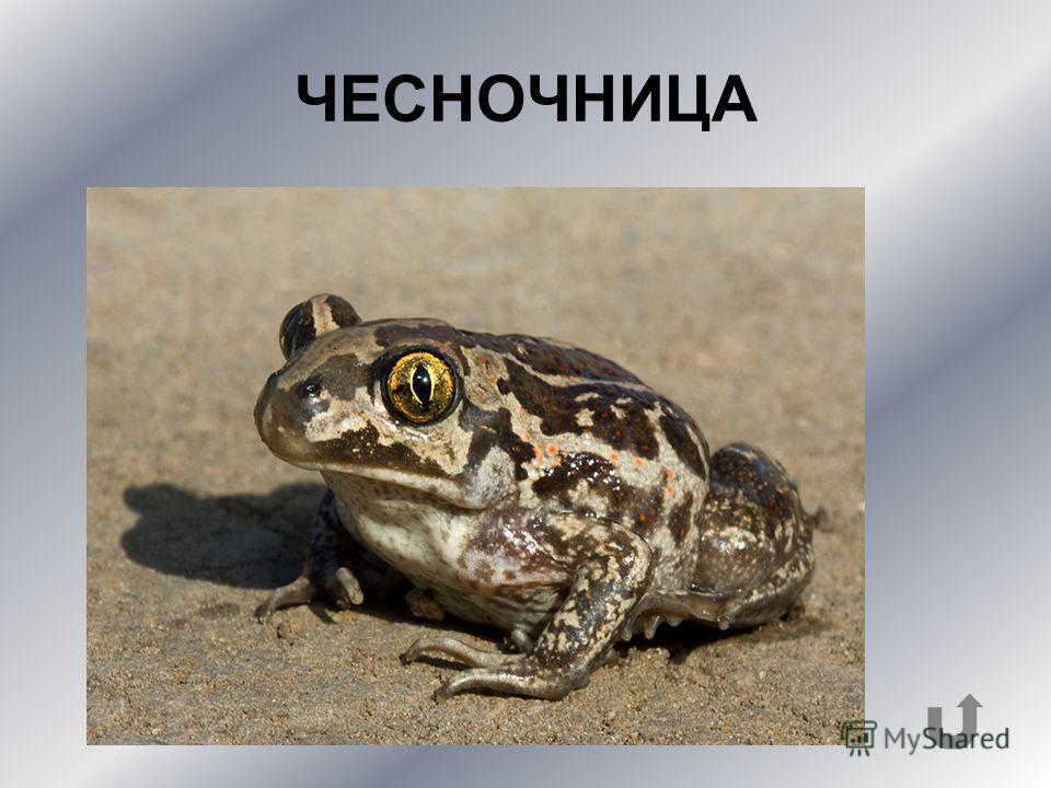 Разновидность лягушек, издающих слабый запах чеснока и имеющих очень крупных головастиков.
