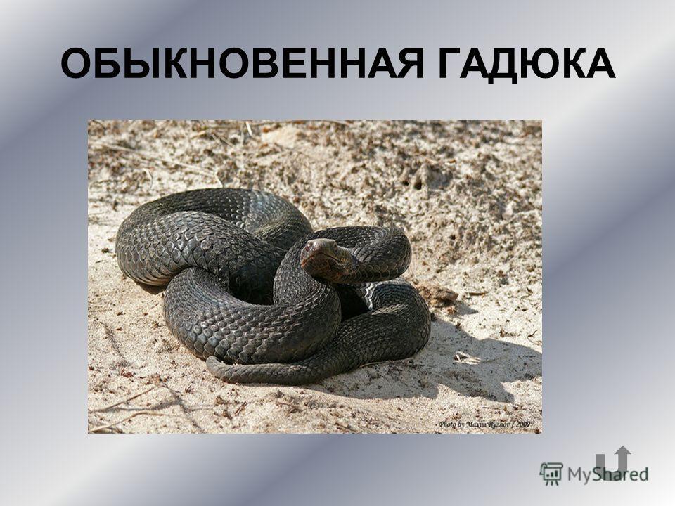 У этой яйцекладущей змеи сразу после откладки яиц появляются жизнеспособные детёныши.
