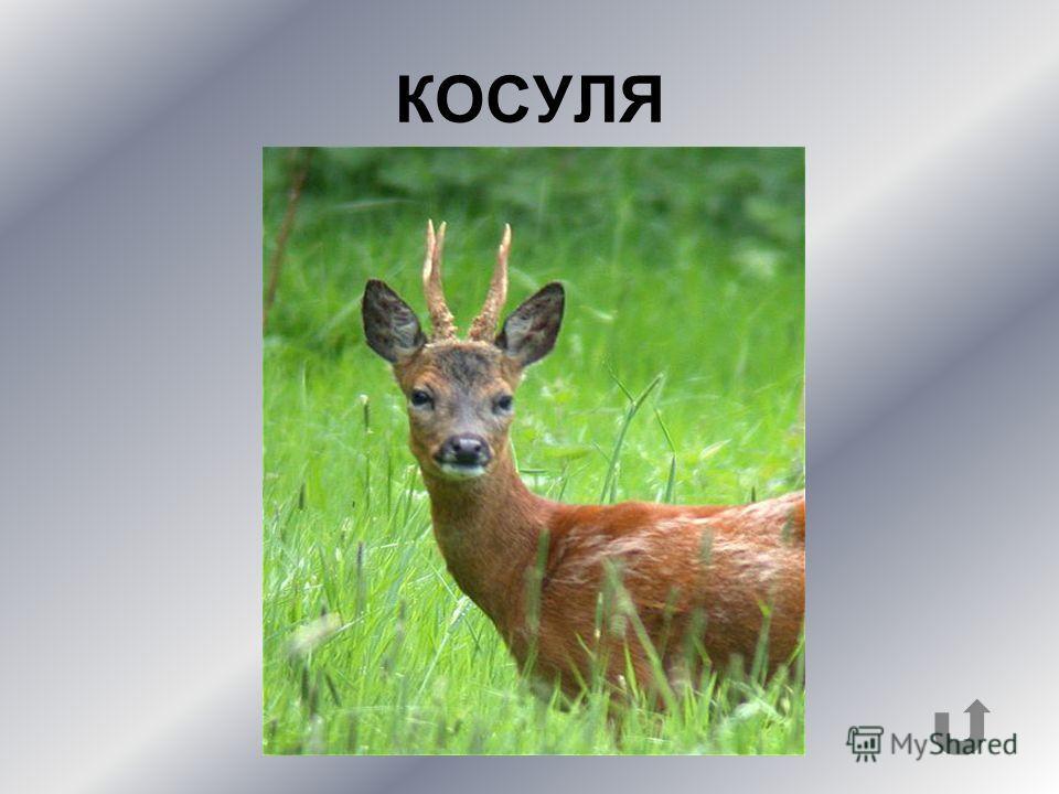 Какое копытное животное изображено на фото?
