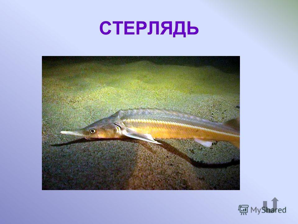 Какой рыбой угощал Демьян соседа Фому в басне К. Крылова «Демьянова уха»?