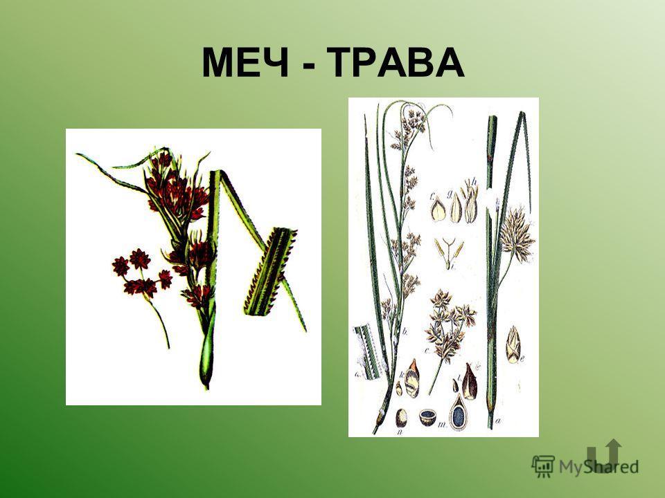 Название этого растения состоит из двух слов. Первое слово- боевое оружие, которым прекрасно владели русские воины. Второе слово- зелёная поросль, по которой так приятно бегать босиком.