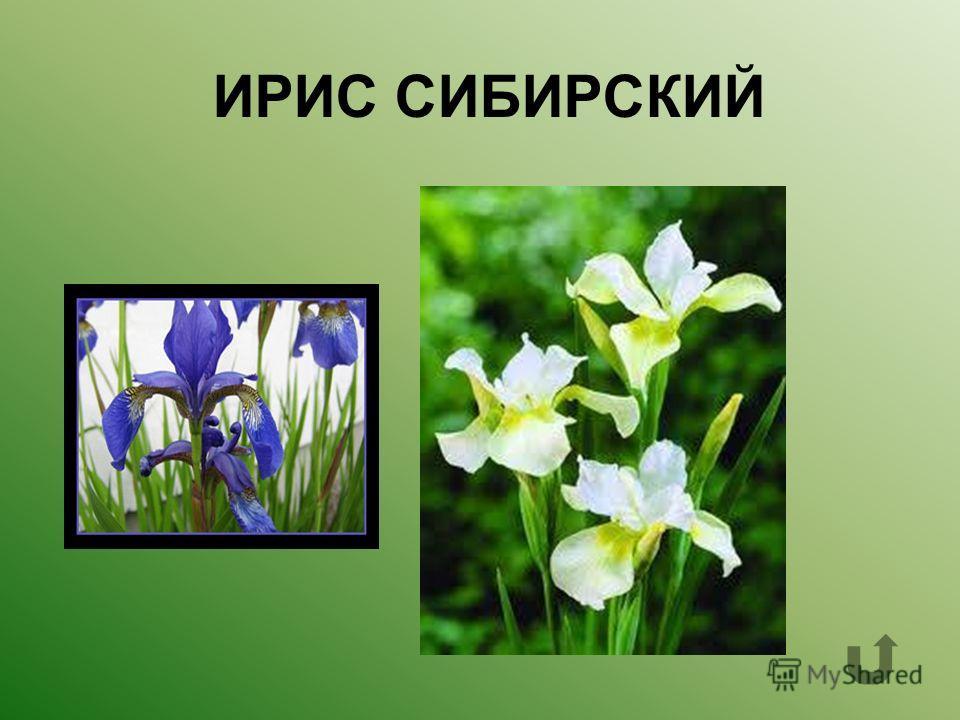 Какое растение изображено на фото?