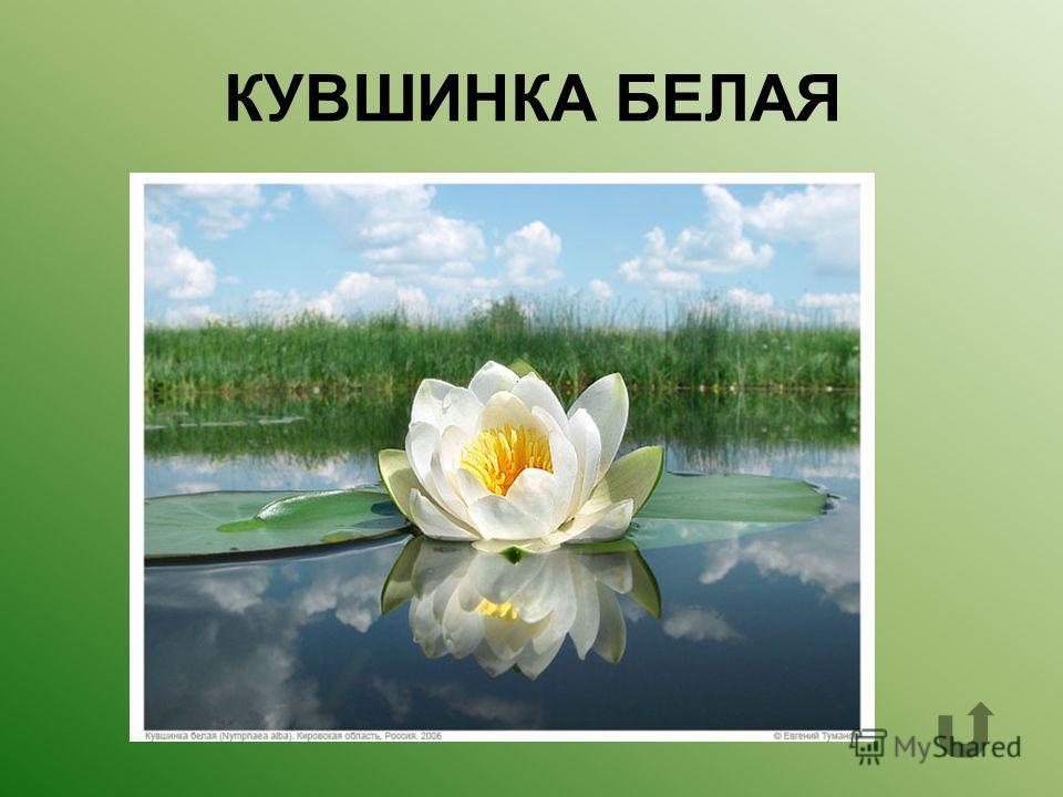 Какое водное растение называют «одолень- трава»?