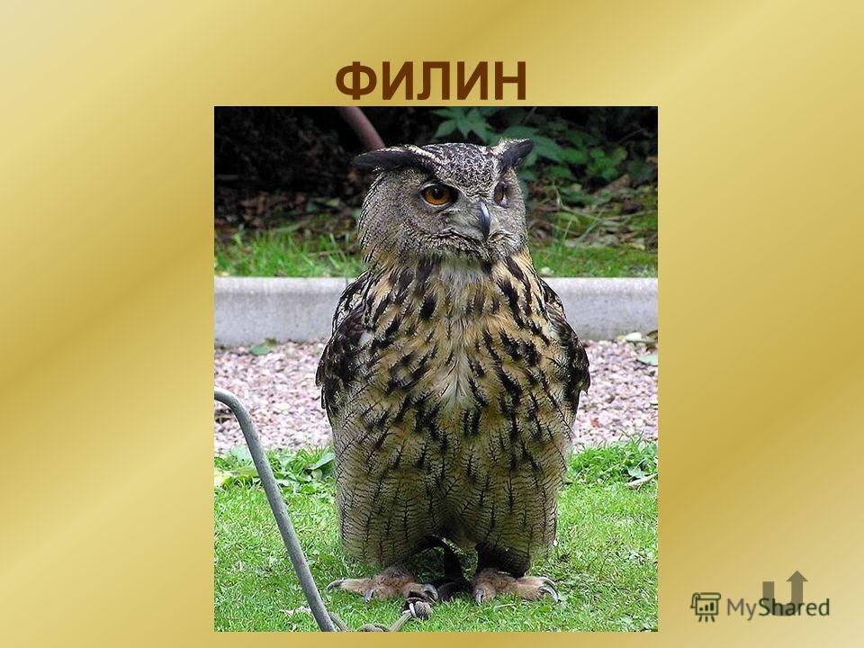 Близкий родственник совы.