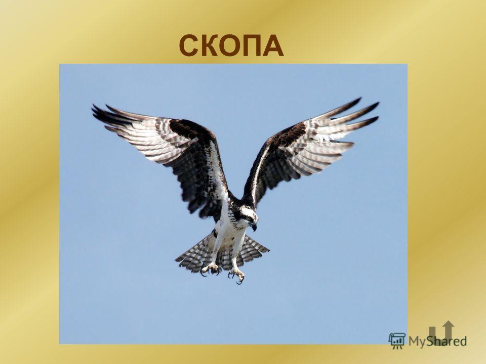 С О К А П И предложенных букв сложи название птицы, которая из- за своей редкости на особом контроле в Новгородской области.