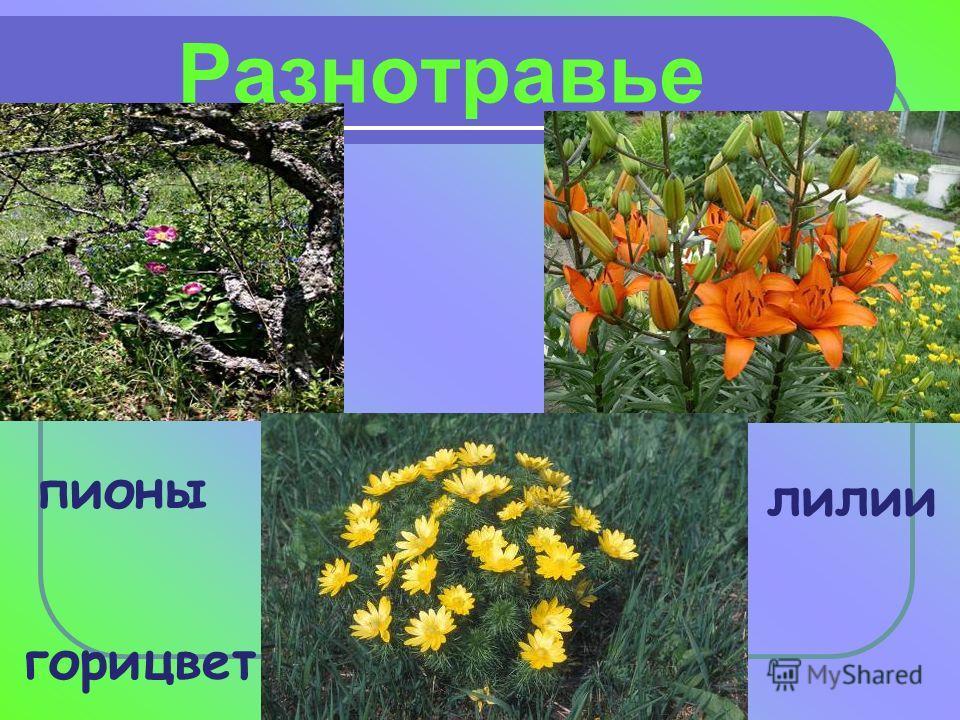 Разнотравье горицвет пионы лилии