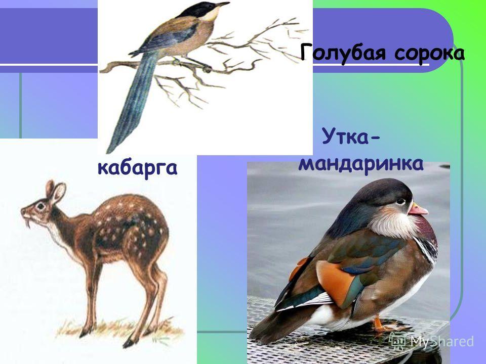 кабарга Утка- мандаринка Голубая сорока